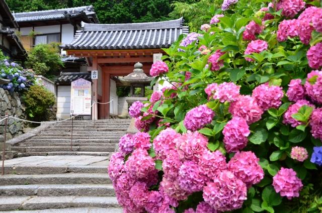 矢田寺のあじさい
